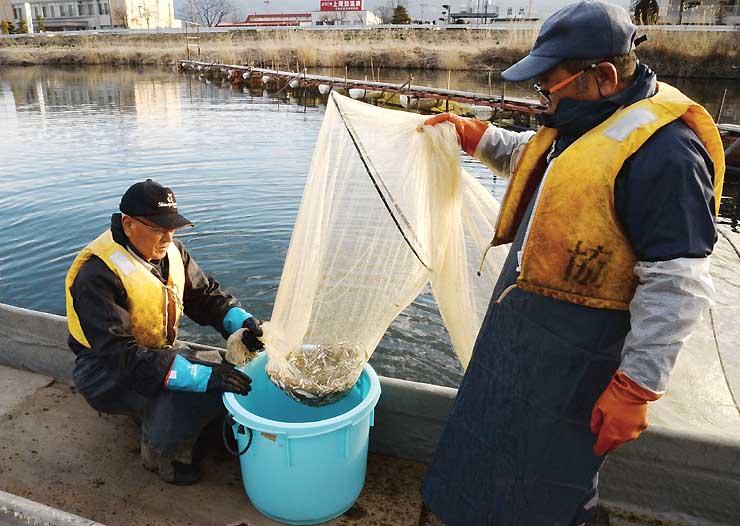 採卵のため、上川に遡上してきた諏訪湖のワカサギを捕まえる組合員