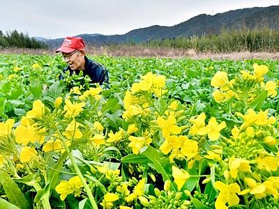 黒河マナ甘く、ほろ苦 敦賀で伝統野菜収穫ピーク