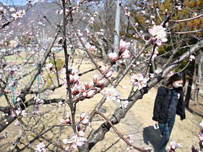 上田に春の訪れ...、梅にロトウザクラ