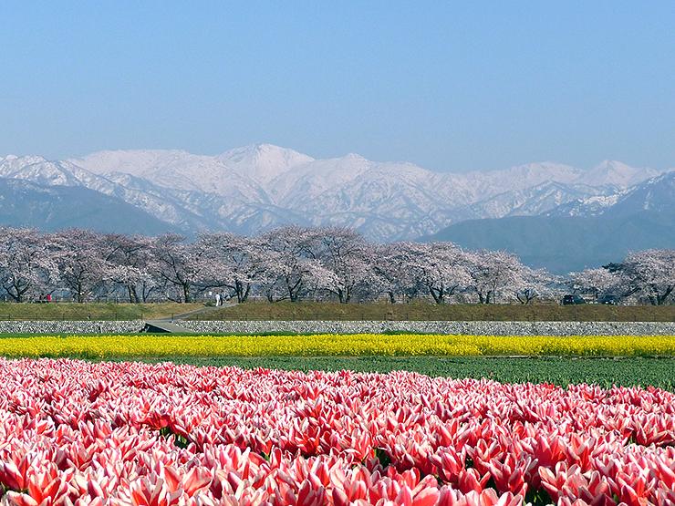 """桜、チューリップ、菜の花、残雪の山々、これら四つが織りなす景観が""""完成形""""となった2009年の「春の四重奏」"""