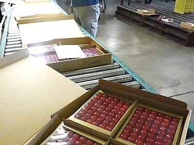 赤い輝き、ルビーのよう 中野でハウス栽培サクランボ出荷