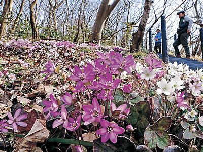 輪島・猿山岬 「復興の花」雪割草が見頃