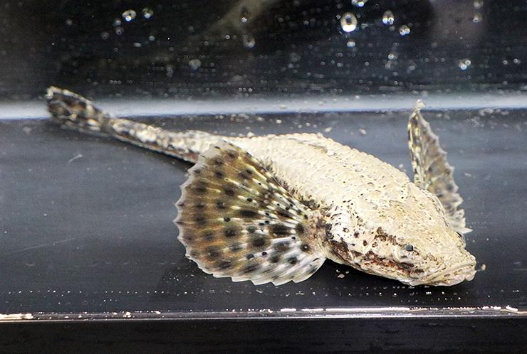 魚津水族館が展示を始めた深海魚「シロウ」