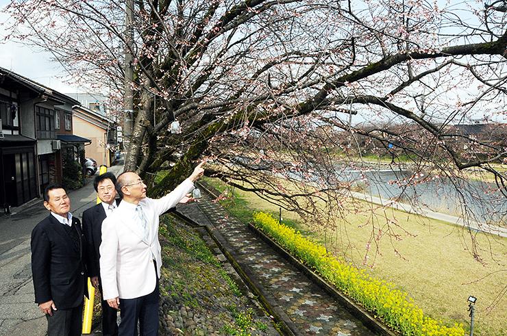 千本桜の開花を確認する地元の観光や商業関係者