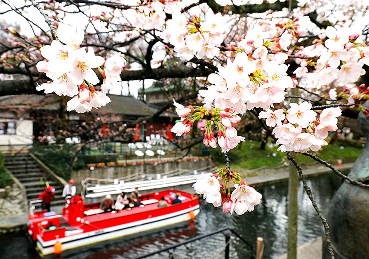 開花した松川べりの桜。花見客を乗せた遊覧船が運航していた=28日午後3時20分ごろ、富山市新総曲輪