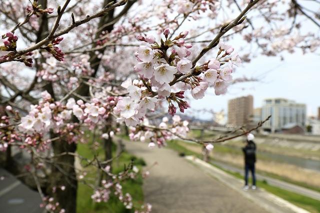 足羽川堤防の桜並木。多くの花を咲かせた木も=3月29日、福井県福井市左内町