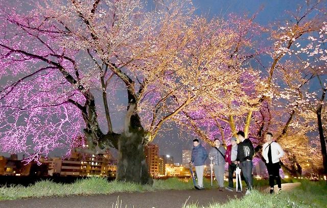 ライトアップされ幻想的に彩られた足羽川の桜並木=3月30日午後6時50分ごろ、福井県福井市左内町