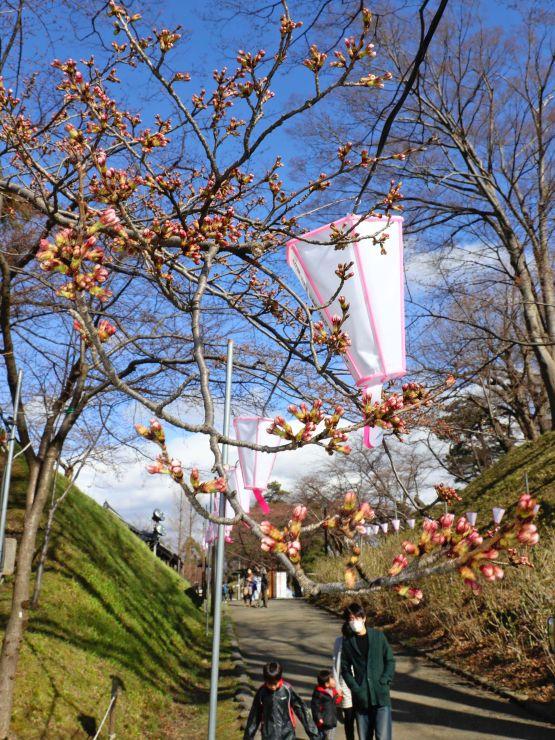 つぼみが膨らんだ高田公園の桜。開花を期待して市民らが訪れた=31日、上越市