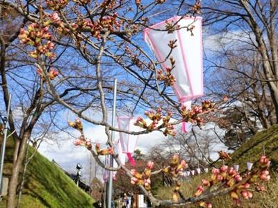 寒の戻り開花足踏み 上越・高田観桜会4月1日開幕
