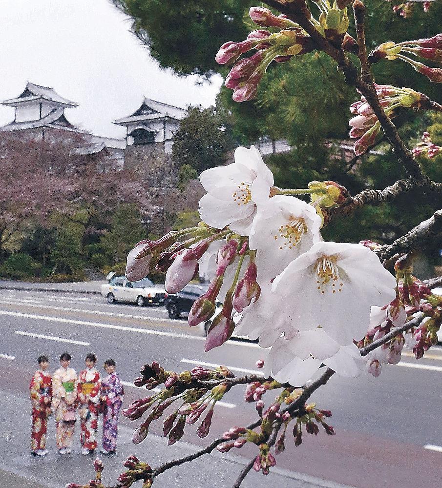 新元号の決定に花を添える桜=兼六園