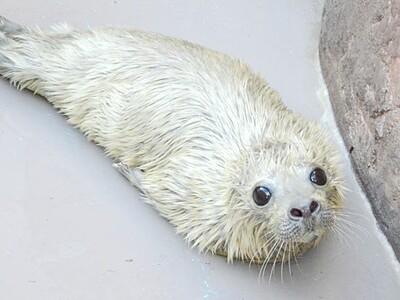ゴマフアザラシの赤ちゃん誕生 新潟・マリンピア日本海