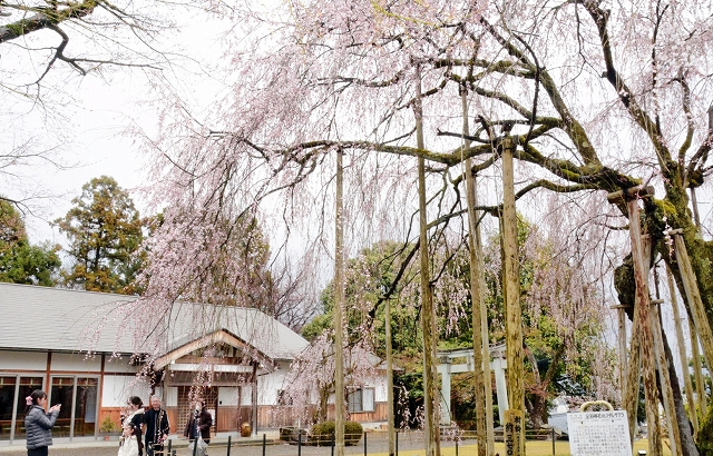 間もなく満開を迎えるしだれ桜=4月2日、福井県福井市足羽1丁目の足羽神社