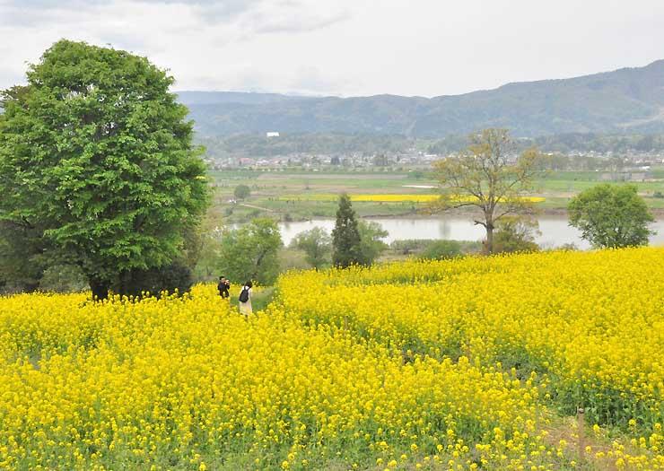 おさんぽバスで巡る場所の一つ、飯山市の菜の花公園=昨年4月
