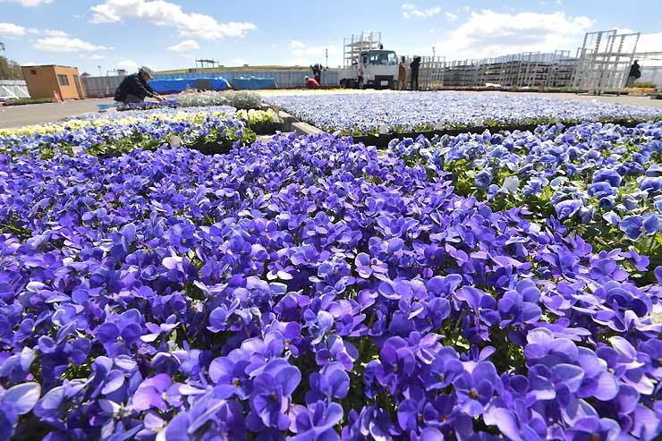 バックヤードに並んだ色とりどりの花苗=4日、県松本平広域公園