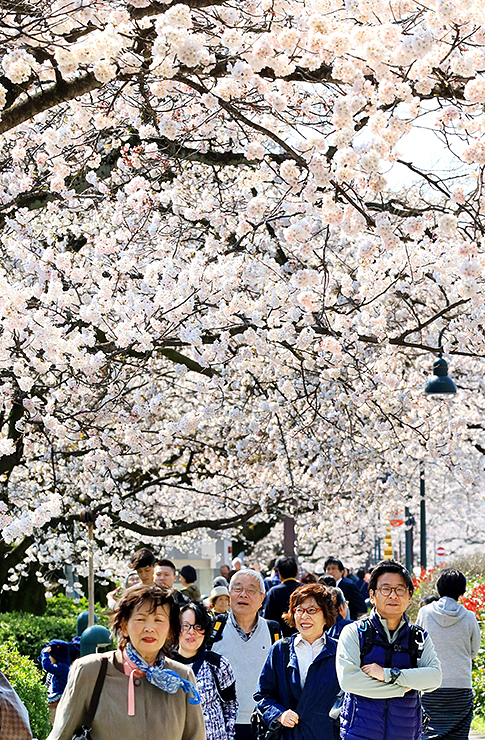 ソメイヨシノが満開となった松川べり。大勢の花見客でにぎわった=5日午後2時ごろ、富山市新総曲輪