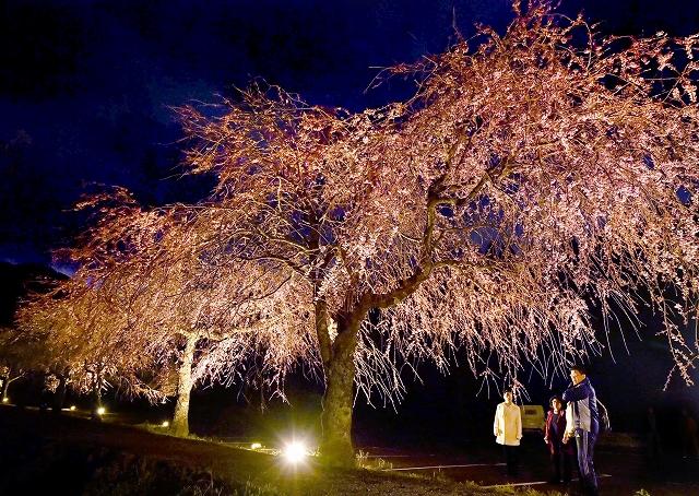 ライトアップされ、幽玄な姿を見せる糸桜=4月5日夜、福井県福井市城戸ノ内町