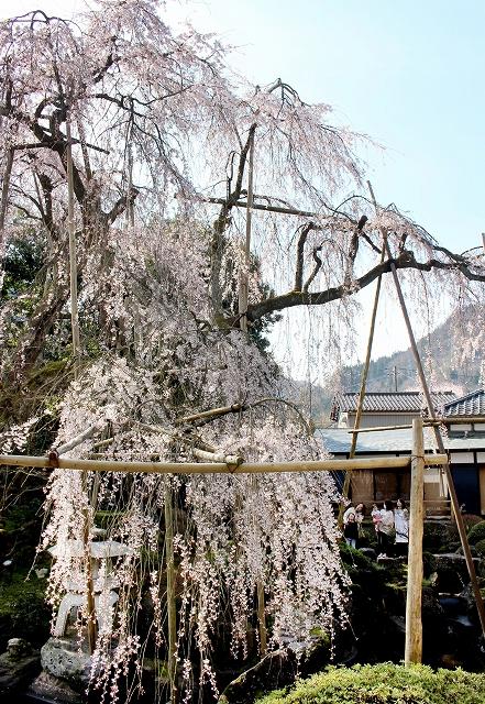 見頃を迎えた樹齢400年を超えるしだれ桜=4月5日、福井県永平寺町藤巻の興行寺