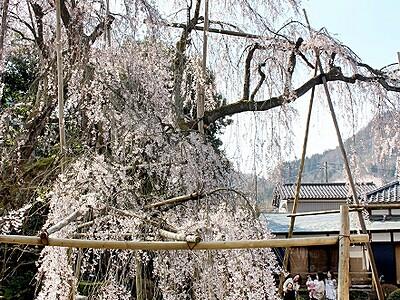 樹齢400年超しだれ桜が見頃 福井県永平寺町の興行寺
