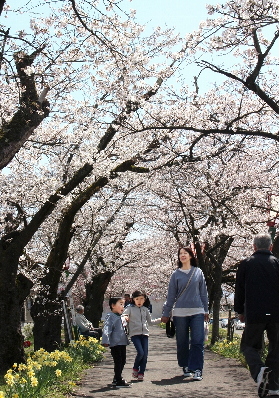 堤防沿いに続く桜のトンネルをくぐる親子連れら=4月6日、福井県勝山市の九頭竜川右岸