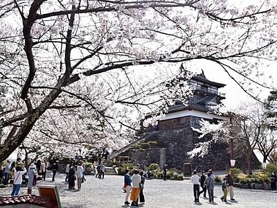 丸岡城と桜が共演 福井・坂井でまつり