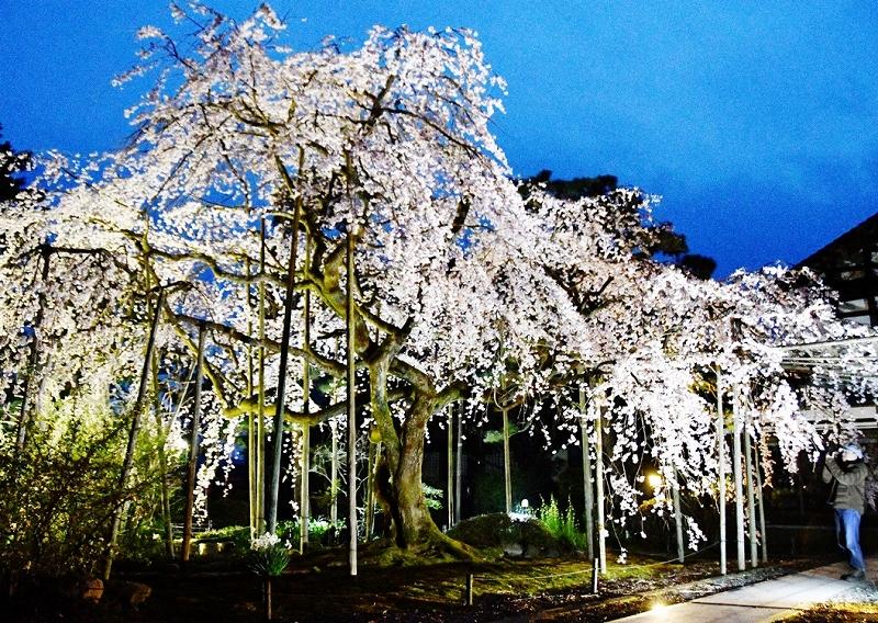 夜に浮かぶしだれ桜=4月5日夜、福井県越前市本町の大寶寺