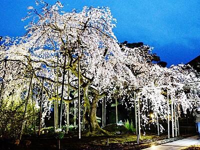お寺のしだれ桜、ライトアップ 福井・越前市