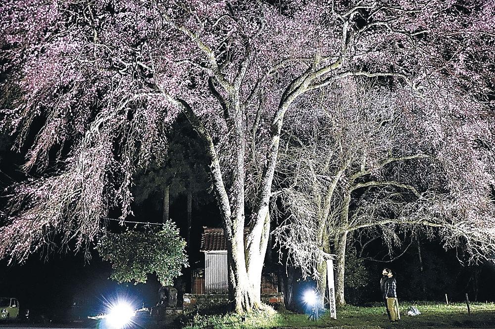 ライトアップされたしだれ桜=加賀市山中温泉荒谷町