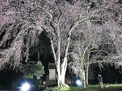 「加賀東谷」に春の風情 山中温泉荒谷、桜ライトアップ