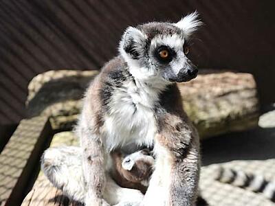 ワオキツネザルの赤ちゃん、名前募集へ 須坂市動物園