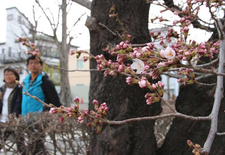 松本城の外堀でほころび始めた桜