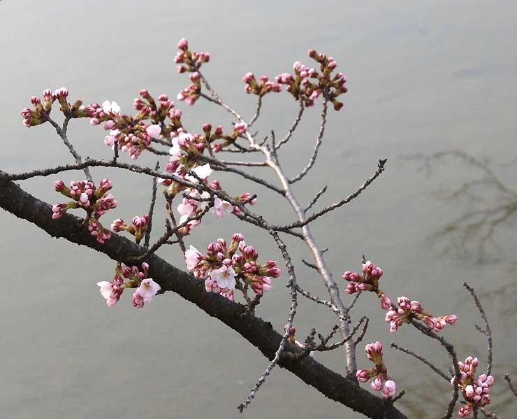 水面近くのつぼみが開いたソメイヨシノの標本木