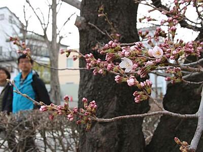 松本城で開花宣言 本丸庭園「夜桜会」10日から