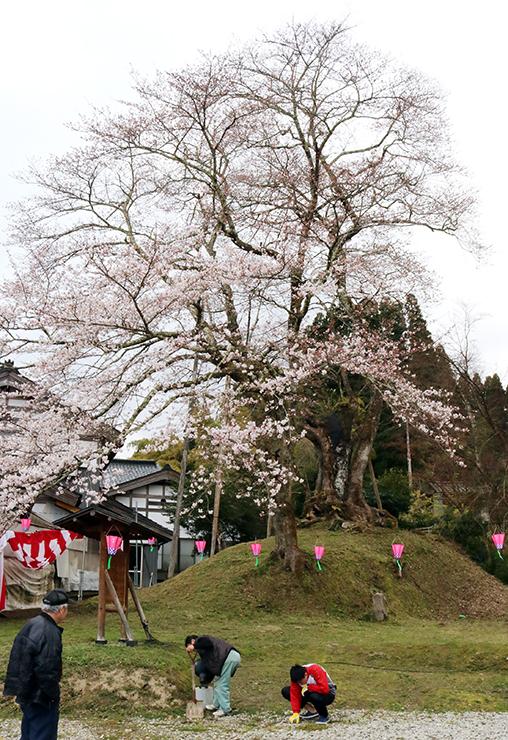 紅白の幕やぼんぼり、照明が付けられ「桜まつり」へ準備が進む「駒つなぎ桜」(奥)の周辺=氷見市粟原