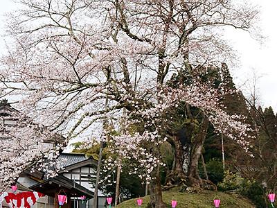 氷見粟原で14日にまつり 家持ゆかりの駒つなぎ桜