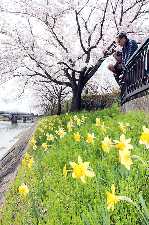 スイセンと桜が見頃を迎えている下条川沿い