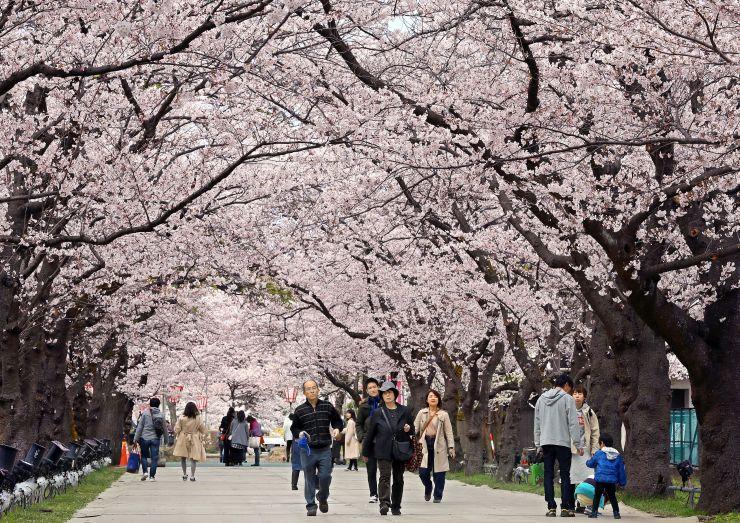 満開の桜と散策を楽しむ花見客=8日、上越市の高田公園