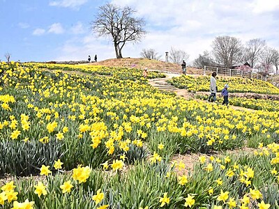 10万本の春、咲いた 上田でスイセン見頃