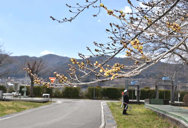 クリーンレイク諏訪の敷地内で大きく膨らんだ桜のつぼみ=8日
