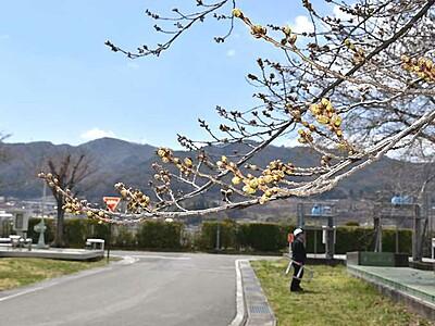 期待も膨らむ桜380本 諏訪の処理場、一般開放