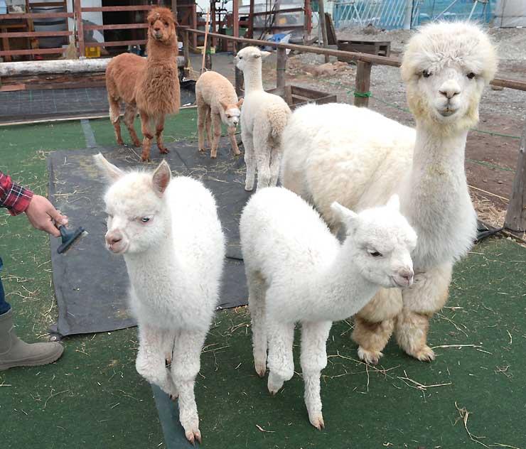 今春に生まれ、来園者の注目を集めているアルパカのラバン(手前左)、花(手前中央)、ニック(奥右)、ニーナ(奥中央)