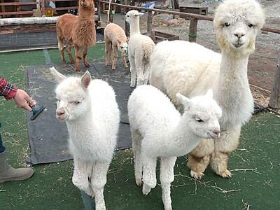 アルパカ4きょうだい、人気 富士見の牧場で相次ぎ誕生
