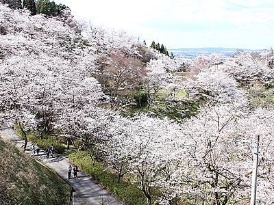 一面ピンクのじゅうたん 城ケ山公園で桜見頃
