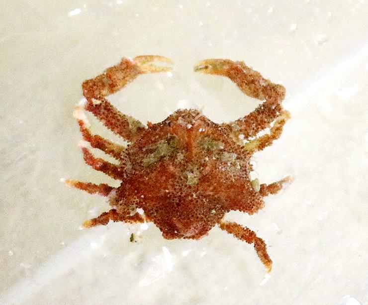 日本海で初めて見つかったというツバサコブシガニ