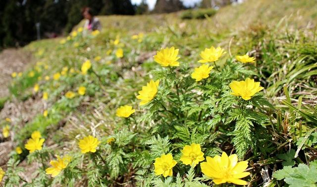 かれんな黄色の花が見頃を迎えたミチノクフクジュソウ=4月12日、福井県勝山市北谷町