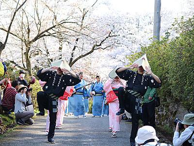 咲き誇る桜 おわらと競演 八尾城ケ山公園