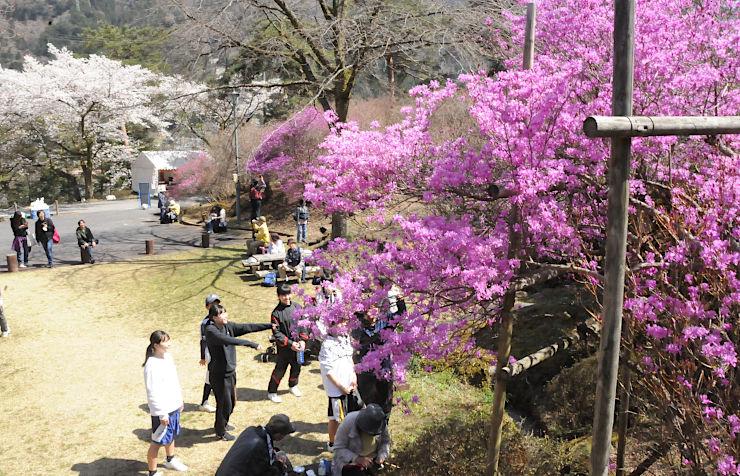 天白公園で咲き始めたミツバツツジ。周囲の桜も満開で大勢の人が訪れている