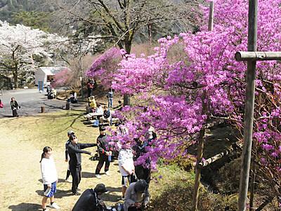 ミツバツツジ 満開の桜と共演 南木曽の公園で祭り