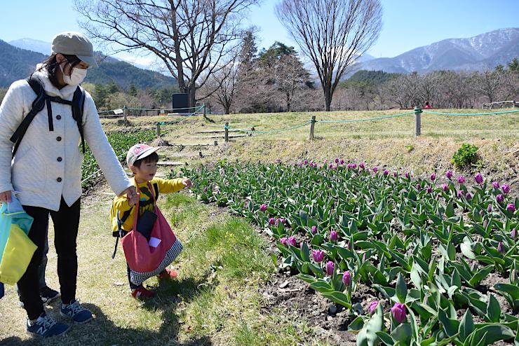 咲き始めのチューリップを眺める親子