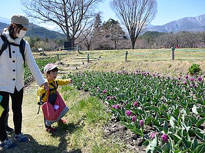 38万本のチューリップ開花徐々に 安曇野の国営公園