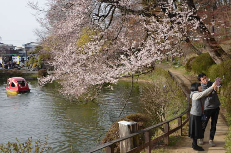 竜ケ池周辺でほころび始めた桜